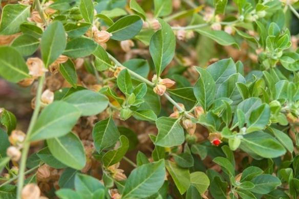 ashwagandha-indian-ginseng